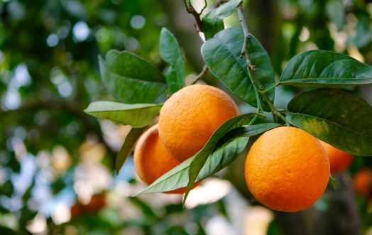 PERFUME YOUR HOME WITH THE FRAGRANCE OF CITRUS FRUITS